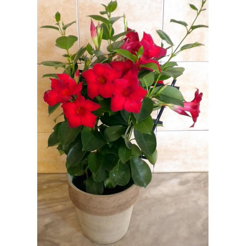 Send Plants And Flowers To Drama Dipladenia