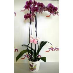 Orchid Phalaenopsis 001