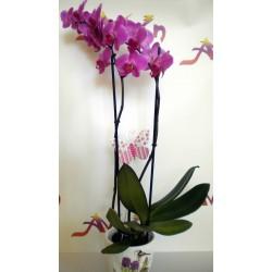 Orchid Phalaenopsis 002