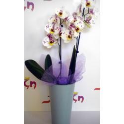 Orchid Phalaenopsis 003
