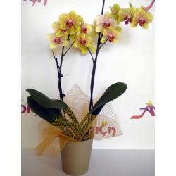 Orchid Phalaenopsis 004