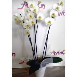 Orchid Phalaenopsis 007