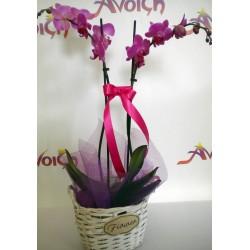 Orchid Phalaenopsis 008
