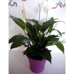 Φυτό Σε Γλάστρα 010