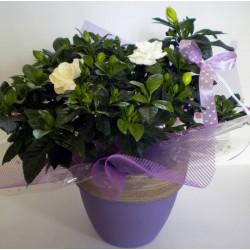 Plant In Pot 001