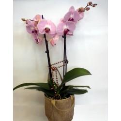 Orchid Phalaenopsis 005