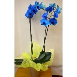 Orchid Phalaenopsis 006
