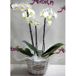 Orchid Phalaenopsis 009