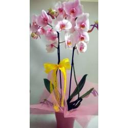 Orchid Phalaenopsis 010
