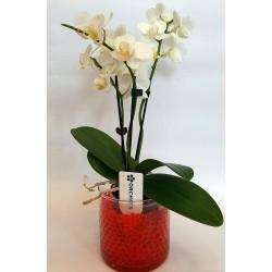 send orchids in drama online flower shop