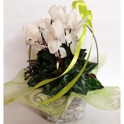 Send flowers and plants in Drama. White Cyclamen.