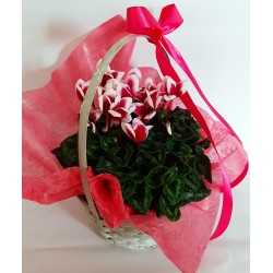 Florist Shop in Drama. Flower and Plant Delivery Cyclamen
